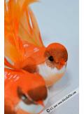 2 oiseaux inséparables majestueux orange