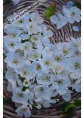 20 Serviettes Cocktail Fleurs de pommier