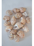 160Gr coquillage PANTHERE