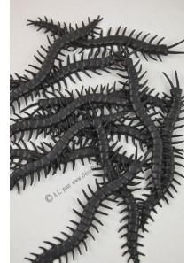 12 scolopendres noir