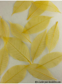 20 Feuilles willow jaune citron