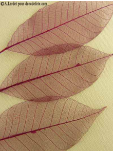 20 Feuilles willow bordeaux